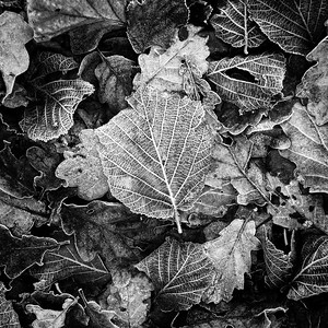 Frost on Leaves - 3