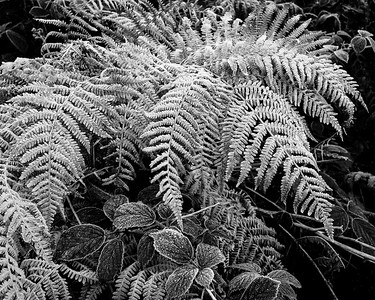 Frost on Bracken & Bramble