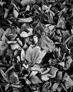 Frosted Leaves -1