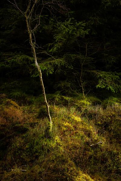 Birch Sapling and Moss