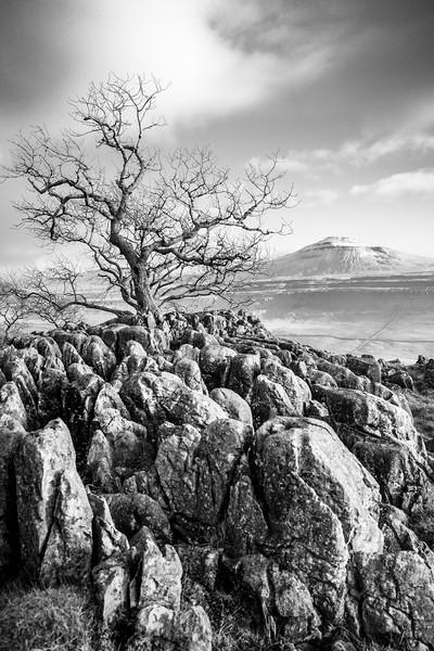 Ash Tree & Limestone