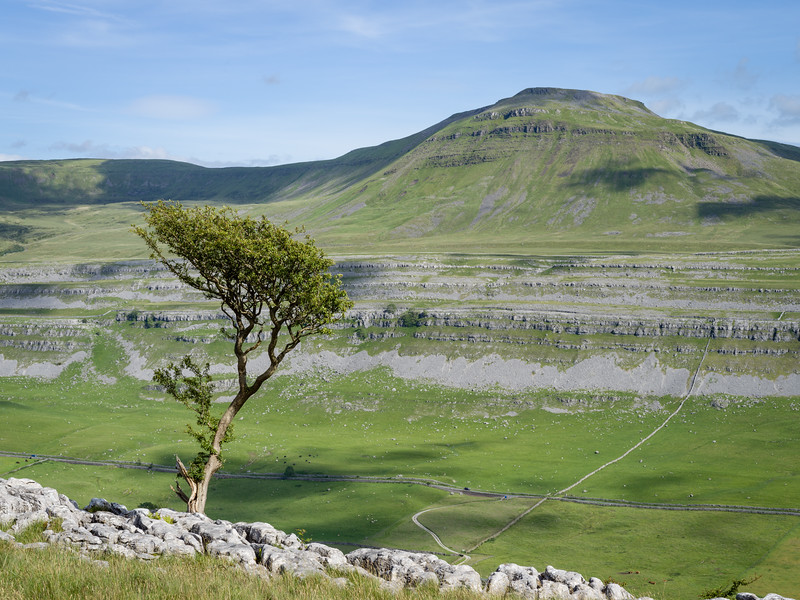 Lone Hawthorn and Black Shiver