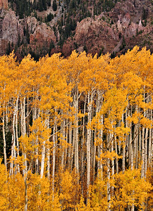 Aspens and Crater  Colorful aspens stand before the volcanic crater wall of the Inner Basin of the San Francisco Peaks