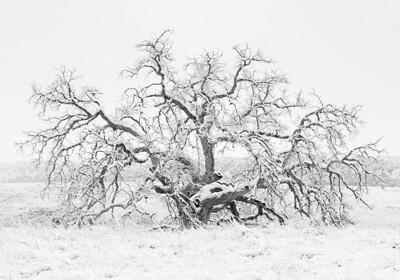 Winter Oak. Snow blankets an oak skeleton in Parker Canyon near Sonoita, Arizona