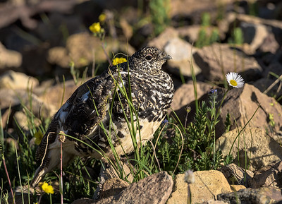 Ptarmigan and Blooms