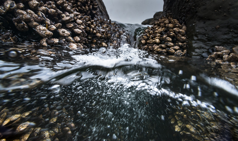 Gooseneck Barnacles feed on plankton by extending their feathers when waves crash.