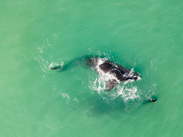 Aerial view of southern right whale calf, Western Cape, South Africa