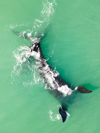 Aerial view of southern right whale with feeding calf, Western Cape, South Africa