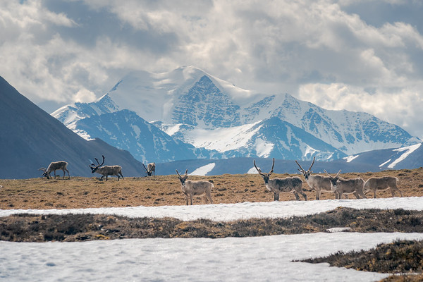 Caribou below Mount Chamberlain