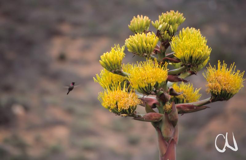 Kolibri im Anflug auf eine Agavenblüte, Sonora-Wüste, Baja California, Niederkalifornien, Mexiko, Mexico