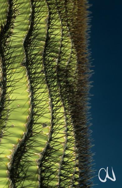 Kaktee Detail, Fasskaktus, Giant Barrel Cactus, Ferocactus diguetii, St.Catalina Island, Baja California, Gulf of California, Sea of Cortez, Niederkalifornien, Mexiko, Mexico