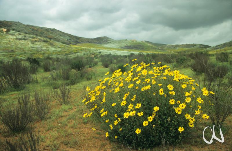 blühende Wüste südlich von Ensenada, Baja California, Niederkalifornien, Mexiko, Mexico