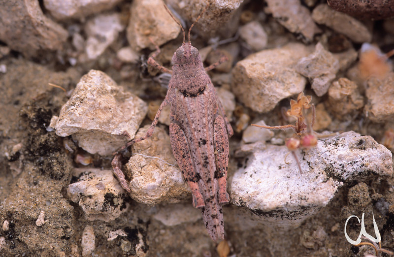 gut getarnte Heuschrecke in der Sonora-Wüste, Baja California, Niederkalifornien, Mexiko, Mexico