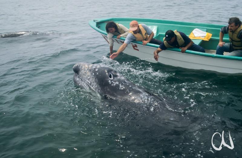 Grauwal-Kalb, whale-watching, Laguna San Ignazio, Eschrichtius robustus, Baja California, Niederkalifornien, Mexiko, Mexico