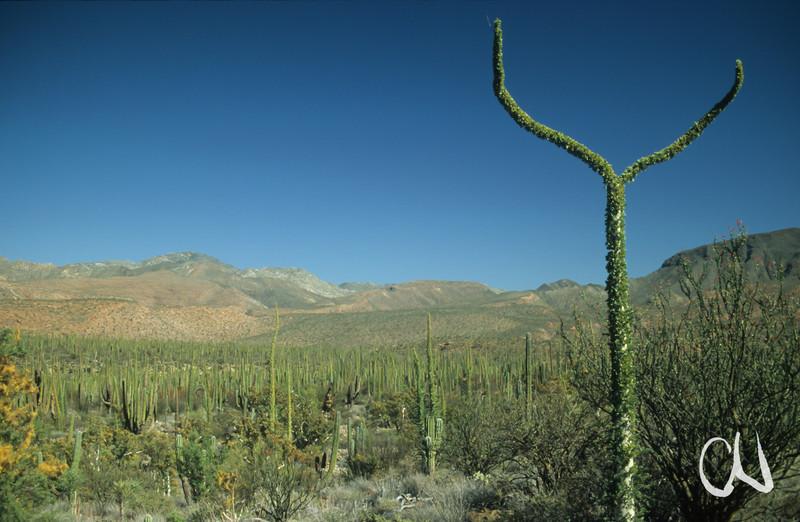 Bojum Tree, Cirio (Fouquieria columnaris) und Säulenkakteen, Cardón (Pachycereus pringlei), Baja California, Niederkalifornien, Mexiko, Mexico