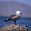 Heermann´s Gull vor Vulkan, Heermannmöwe, Larus heermanni, Golf von Kalifornien, Sea of Cortéz, Baja California, Niederkalifornien, Mexiko, Mexico