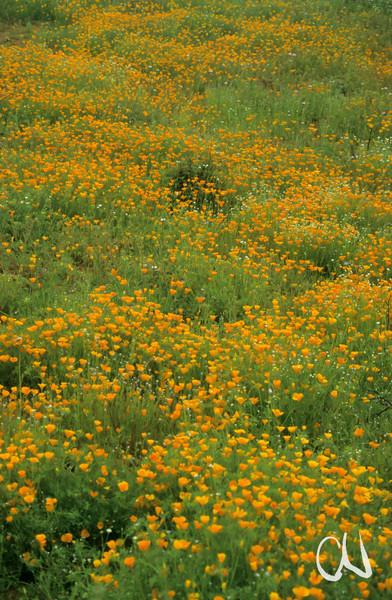 Kalifornischer Mohn, Californian Poppy, Eschscholzia californica, Blüte, blühende Wüste, Baja California, bei Ensenada, Niederkalifornien, Mexiko, Mexico