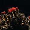 Echinocereus, Kaktus, Baja California, Niederkalifornien, Mexiko, Mexico
