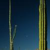 Bojum Tree, Cirio (Fouquieria columnaris) und Säulenkaktus, Cardón (Pachycereus pringlei), Baja California, Niederkalifornien, Mexiko, Mexico