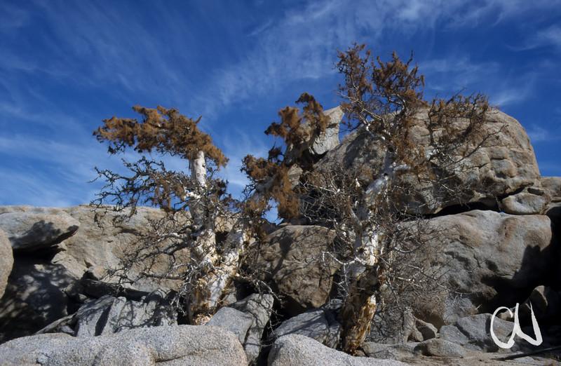 Elephant Trees, Baja California, Sierra de San Borja, Niederkalifornien, Mexiko, Mexico