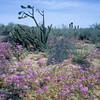 blühende Wüste, Sanverbenen, Kakteen und Yucca, Baja California, Niederkalifornien, Mexiko, Mexico