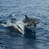 Delfine im Golf von Kalifornien, Sea of Cortéz, Baja California, Niederkalifornien, Mexiko, Mexico