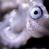 Auge eines Perlboots, Gattung Nautilus, Kopffüßer, angeschwemmt an einem Strand am Golf von Kalifornien, Sea of Cortéz, Baja California, Niederkalifornien, Mexiko, Mexico