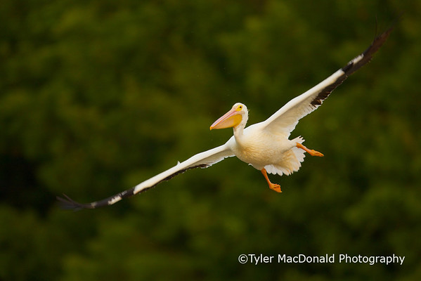 White pelican<br /> Ding darling