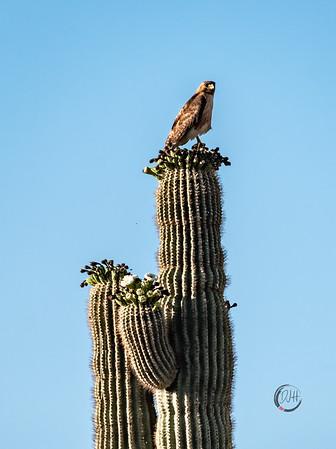 hawk cactus-5736