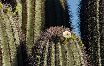 hawk cactus-5697