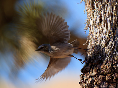 Western Scrub Jays in Joshua Tree National Park.