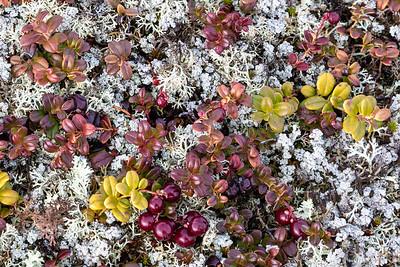 Tundra ground cover, Nunavut Territories
