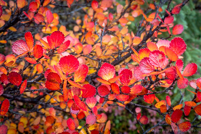 Autumn foliage, Nunavut Territories