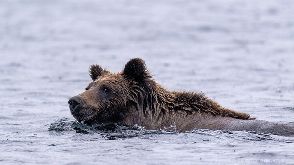 Swimming Gizzly Bear - Ennadai Lake, Nunavut Territories