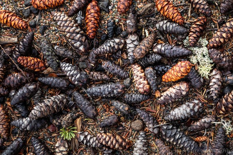 Spruce cones - Nunavut Territories