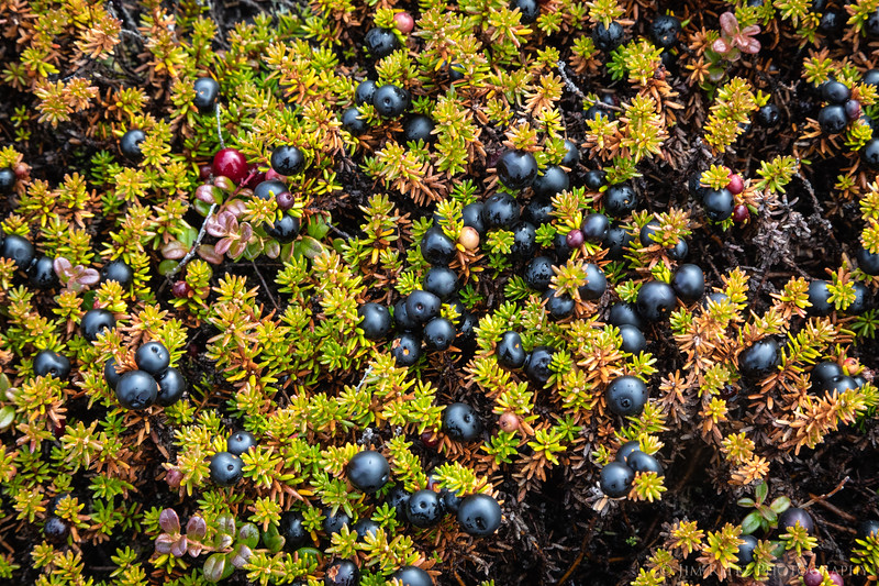 Crowberry plants on the tundra - Nunavut Territories