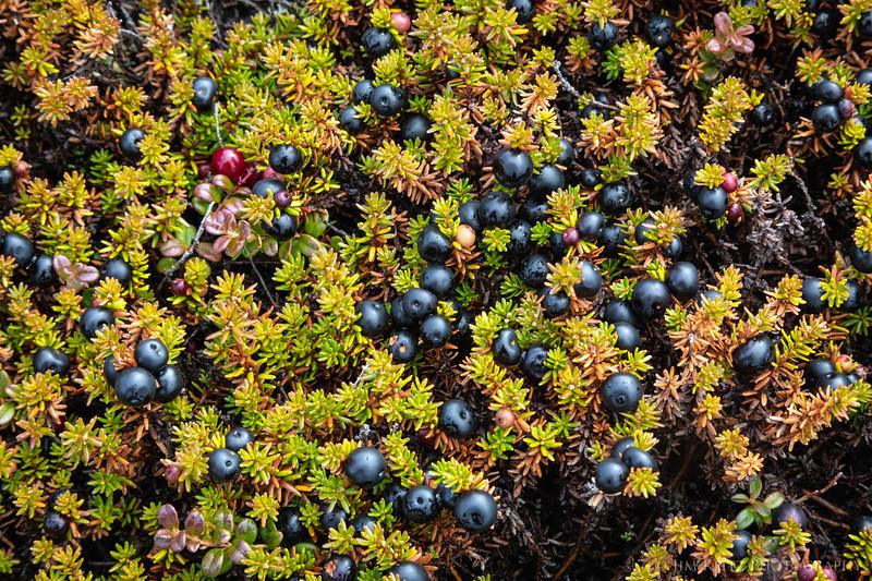 Crowberry plants on the tundra - Nunavut Territories