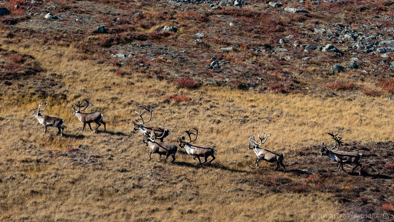 Caribou - Nunavut Territores, Canada
