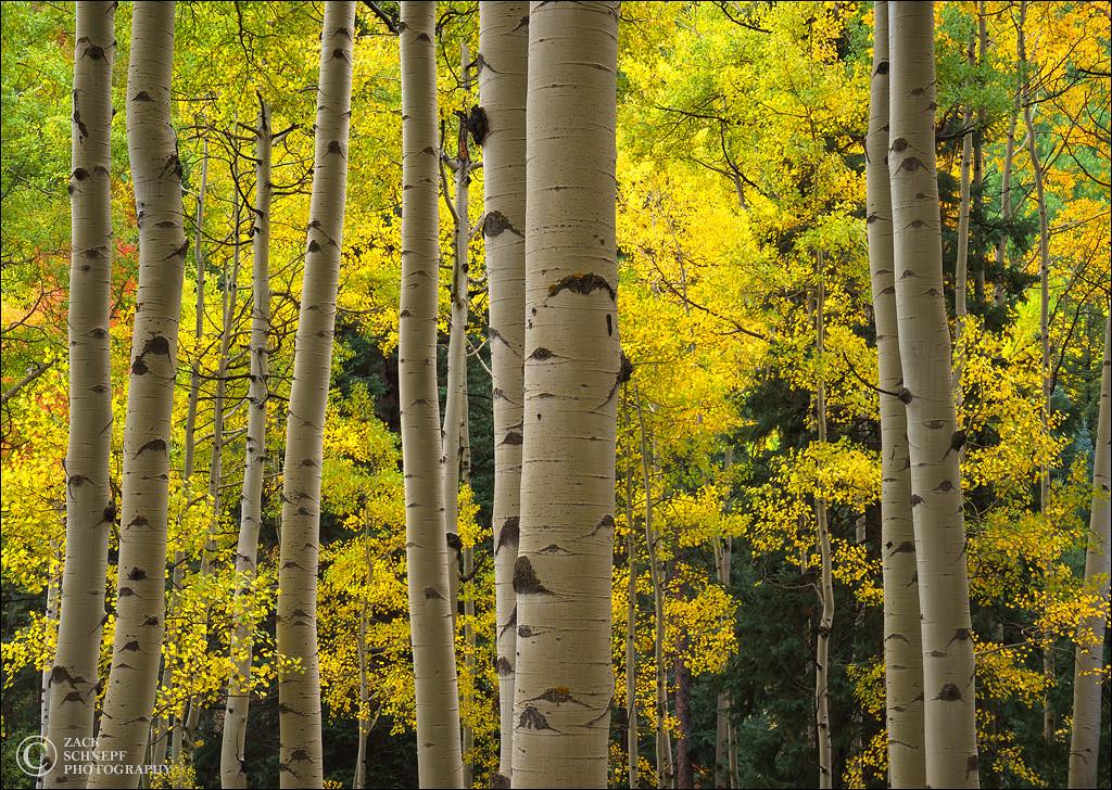 Aspen Forest Horizontal