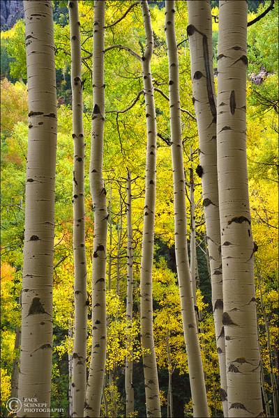 Aspen Forest Simplicity