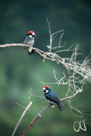 Eichelspecht, Acorn Woodpecker, (Melanerpes formicivorus), San Gerardo de Dota, Cerro de la Muerte, Costa Rica