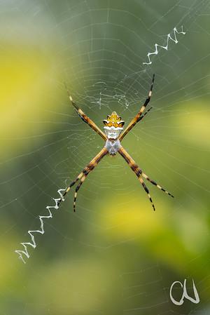 Spinne im Garten, Körperlänge mit Kopf ca. 1,5 -2 cm, San José, Costa Rica