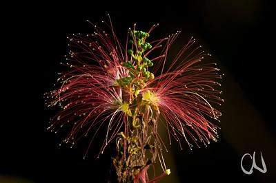 botanical fireworks - Blütenfeuerwerk