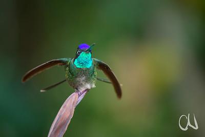 hier zeigt er, dass er seinen pompösen Namen zu Recht trägt: Violettkron-Brilliantkolibri, Magnificent Hummingbird, (Eugenes fulgens), Männchen, San Gerardo de Dota, Cerro de la Muerte, Costa Rica