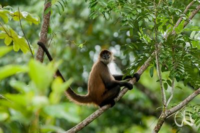 Klammeraffe, Geoffroy's spider monkey (Ateles geoffroyi), Tortuguero, Costa Rica