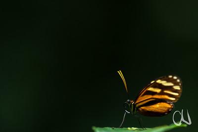 tropischer Tagfalter im Monteverde Cloud Forest Reserve, Nebelwald in Monteverde, Costa Rica