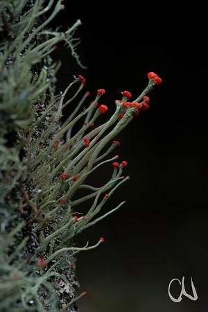 lichen trumpets