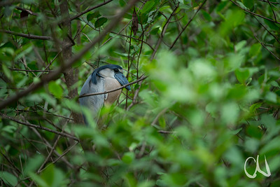 Kahnschnabel in seinem Tagesversteck in den Mangroven, (Cochlearius cochlearius), Boat-billed heron,  Tárcoles, Costa Rica