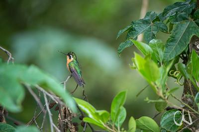 Weißkehlnymphe, White-throated Mountain-gem, (Lampornis castaneoventris), Weibchen, San Gerardo de Dota, Cerro de la Muerte, Costa Rica