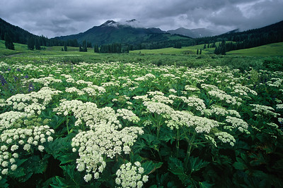 crested_butte_wildflowers_007